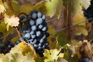 Bloom on grapes in vineyard. Photo Copyright 2012 Valerie Stride